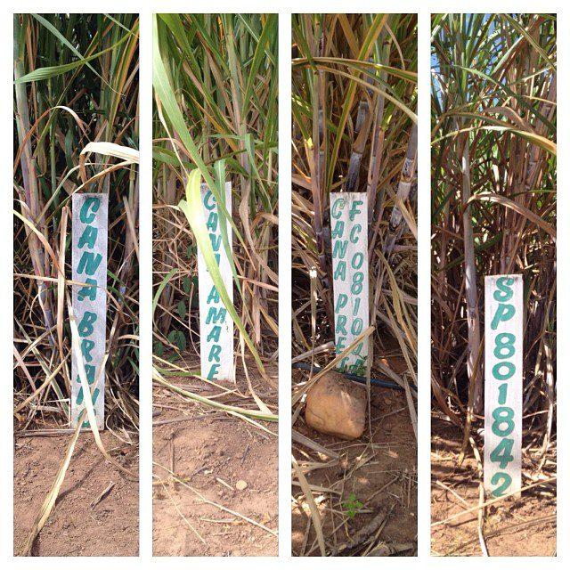 Variedades de cana na Encantos da Marquesa